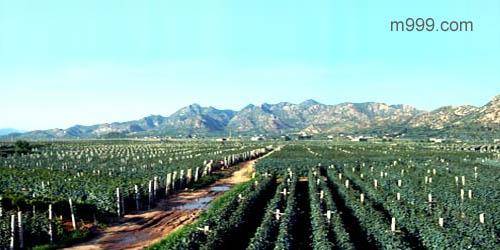 华夏长城庄园法国名钟葡萄种植基地-美酒在线